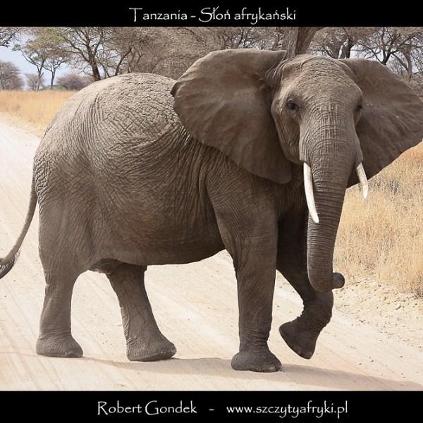Zdjęcie słonia z Tanzanii