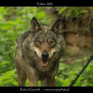 Zdjęcie wilka z Polski