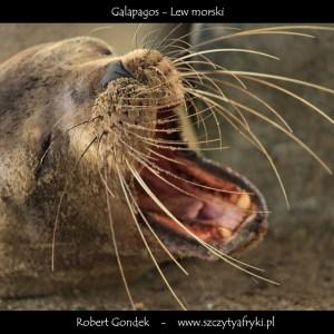Zdjęcie ziewającego lwa morskiego z Galapagos
