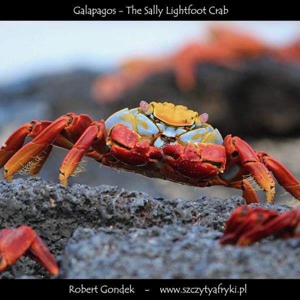 Zdjęcie kraba z Galapagos