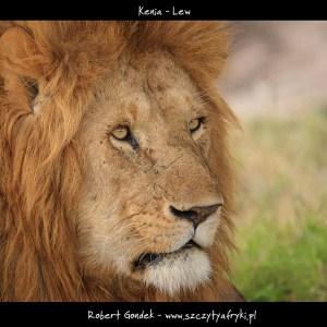Zdjęcie lwa z Kenii