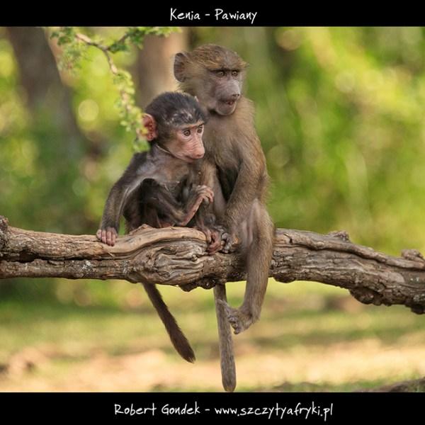 Zdjęcie młodych pawianów z Kenii