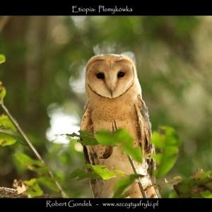 Zdjęcie płomykówki z Etiopii