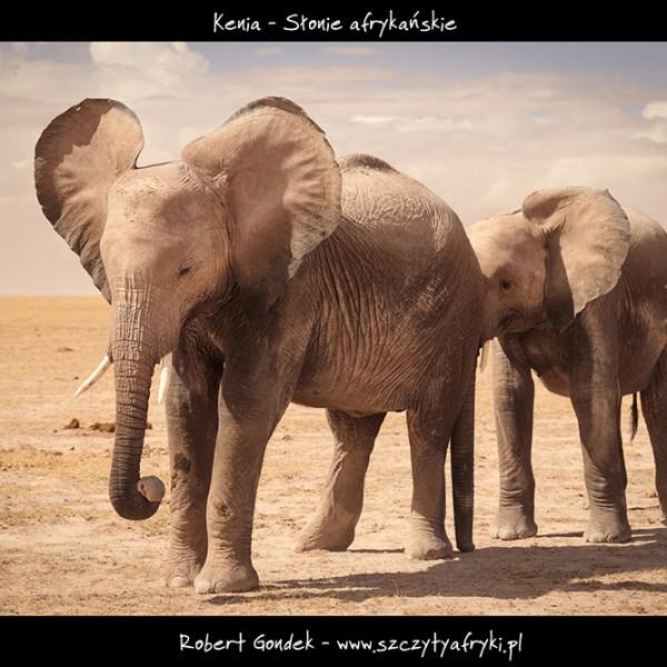 Zdjęcie słoni z Kenii
