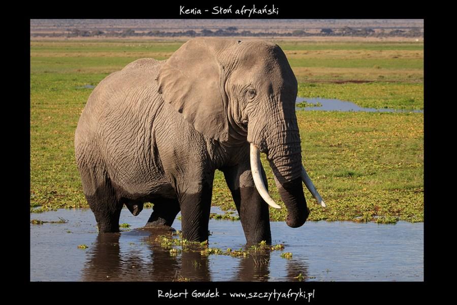 Zdjęcie słonia z Kenii