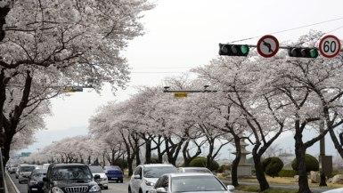 2018年4月1日、いち早く満開となった慶州の桜