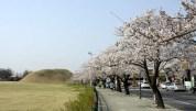 2018年3月31日に慶州の大陵苑一帯で咲いた桜です