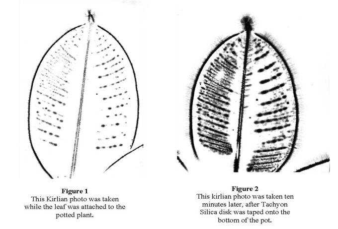 LeafFicus