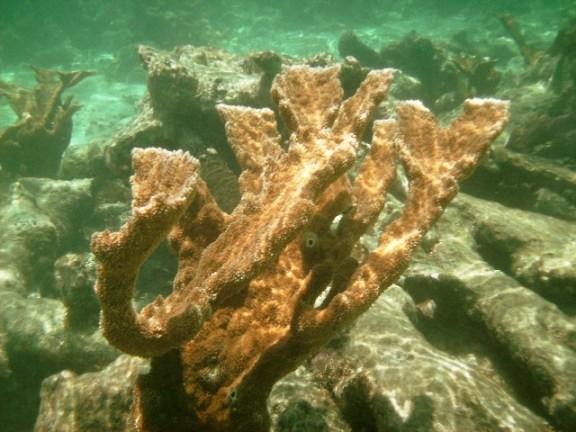 elk horn coral belize