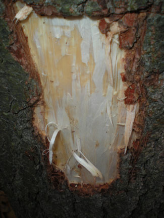Image result for white pine inner bark