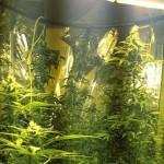 Confiscan invernadero de marihuana