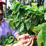 Analiza estado de la industria del café a cinco meses del huracán María