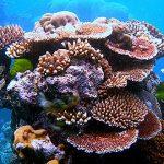 Desde Culebra: Trabajan para restaurar los arrecifes de coral