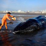 La triste historia de la ballena que se niega a volver al mar
