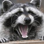 """El extraño comportamiento que hace que los mapaches actúen como """"zombies"""""""