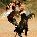 Piden a congresistas rechazar prohibición peleas de gallo en Puerto Rico