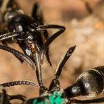 """¿Sabías que las hormigas """"paramédicas"""" son las primeras en rescatar y sanar a sus compañeras heridas?"""