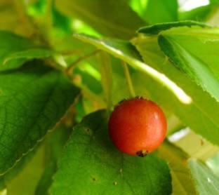 Aratiles fruit