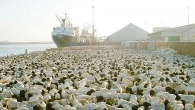 Photo of البيئة: وصول أكثر من مليوني رأس من المواشي الحية عبر ميناء جدة الإسلامي