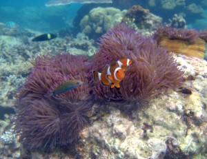 Clown Fish closeups