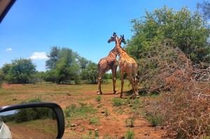 giraffecloseby