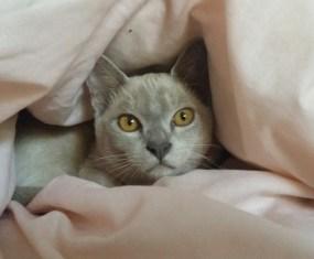 Classic photo of lilac Burmese kitten