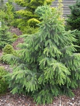 Ель бревера Picea breweriana