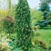 Ель обыкновенная Инверса Picea Abies Inversa