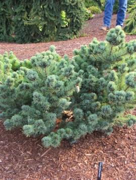 Сосна мелкоцветковая Кин -По Pinus parviflora Kin-po