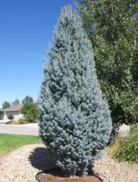 Ель колючая Блю Тотем Picea pungens Blue Totem