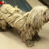 Emergency Grooming on Severely Matted Dog at San Jose Animal Care Center