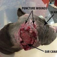 Saving Amazing Grace - Dog Fighting Victim Saved by San Jose Animal Shelter