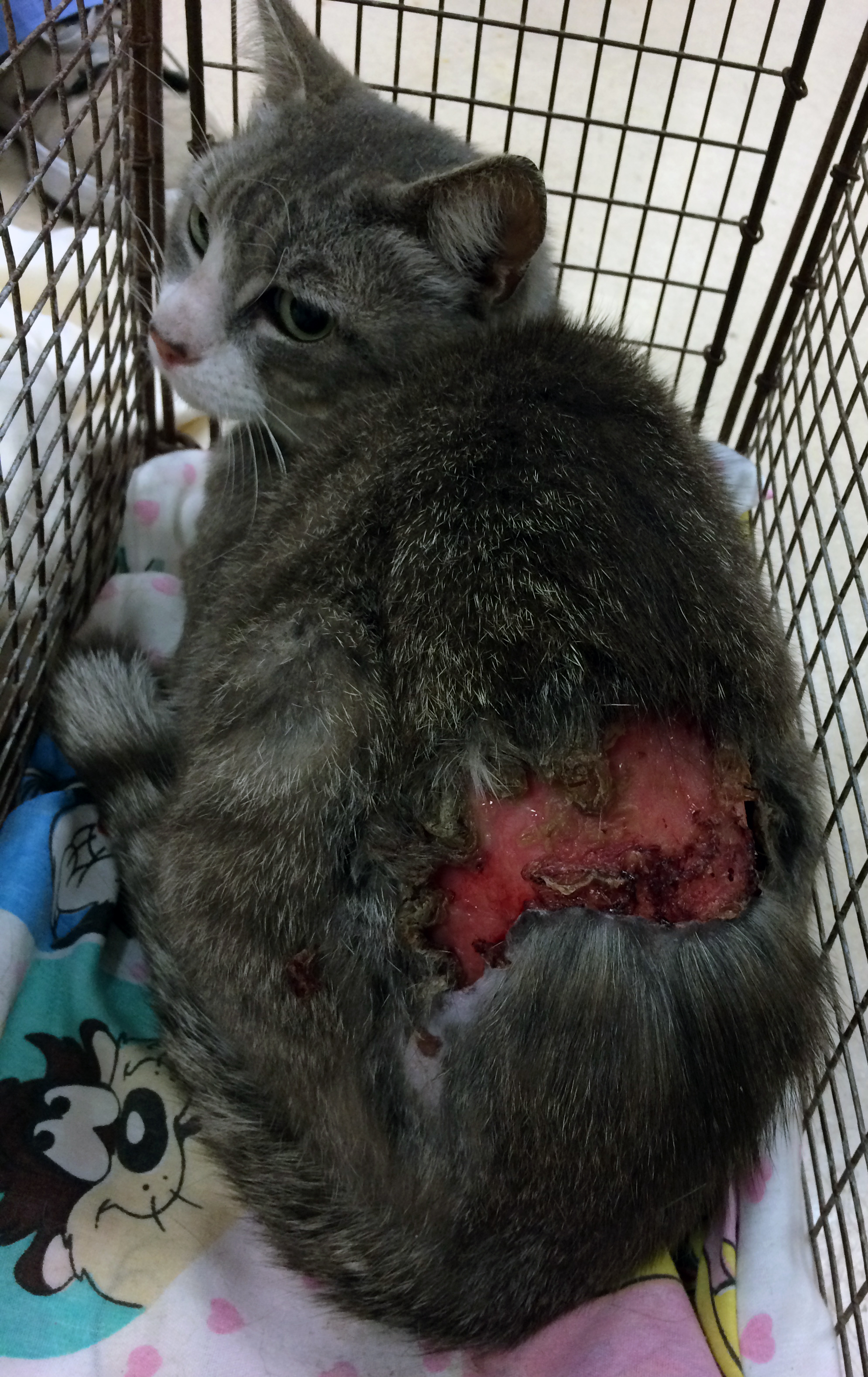 Injured Feral Cat Missing Large Part of Back — Tails of a Shelter Vet