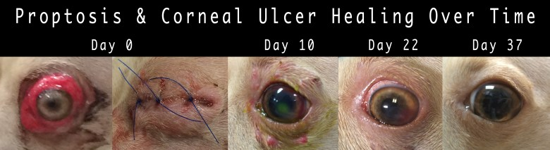 Dog Eye Popped Out - Proptosis - Corneal Ulcer