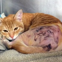 Mr. Hipster Shelter Vets FHO Surgery Saves Cat's Leg