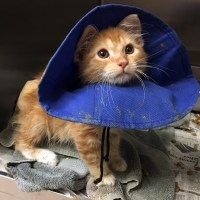 Orange Tabby Kitten's Tail Broken Injury Amputation San Jose Animal Care Center Shelter Veterinarian