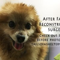 Jaw Fracture Facial Reconstruction Surgery on a Pomeranian Traumatic Abdominal Hernia Dental Cleaning with Extractions Vehicular Trauma Hit by Car HBC