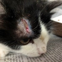 San Jose Animal Shelter Kitten Infected Wound Saved
