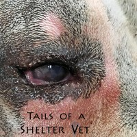Dog's Abnormal Eyelid Surgically Repaired by Shelter Vet Team Entropion