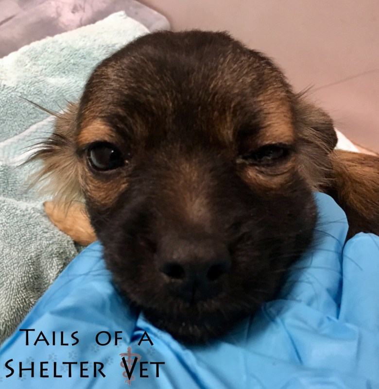 Puppy with Head Trauma Recovers at Shelter Swollen Face Scleral Hemorrhage