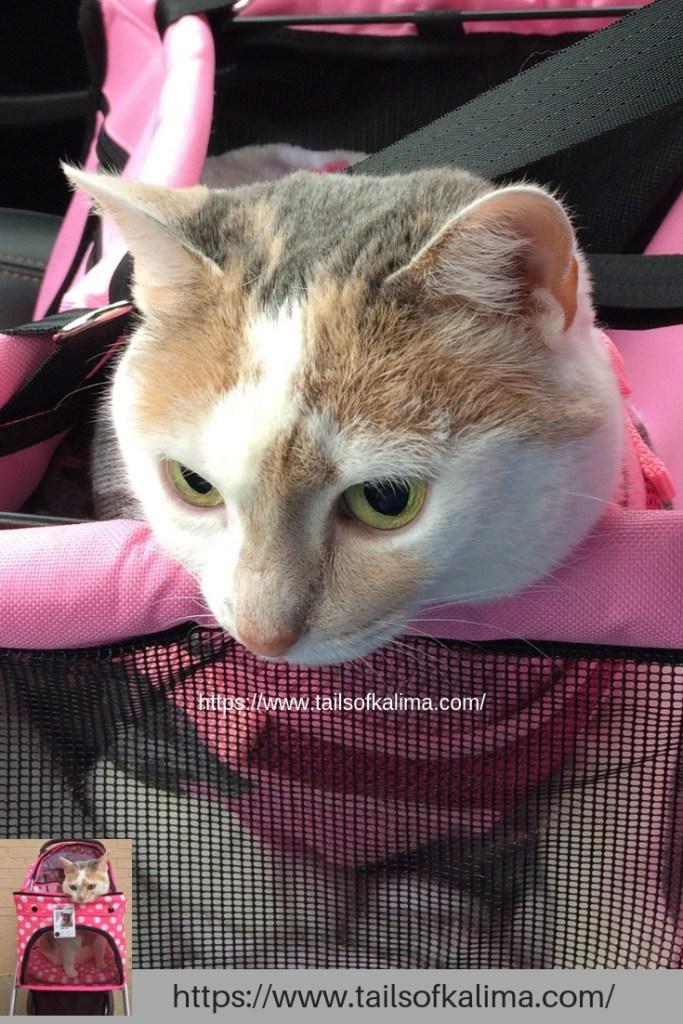7th year cat adoption anniversary of Kali-Ma