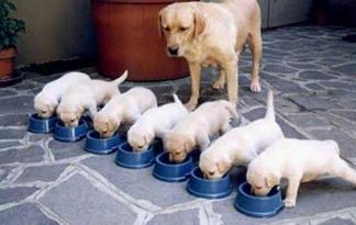 15_yellowlab_puppies