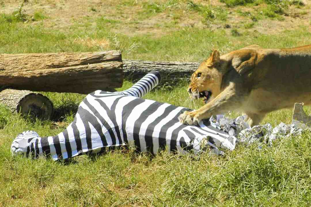 Lioness attacks a zebra pinata
