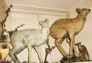 Шкуру белой кабарги охотник передал музею ИСХА.