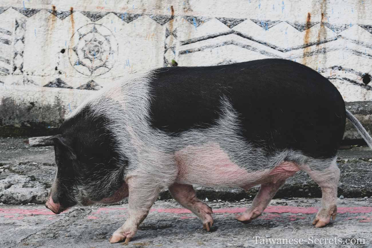 taiwan mountain pigs