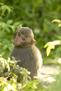 The Formosan Macaques on Wushan, Taiwan.