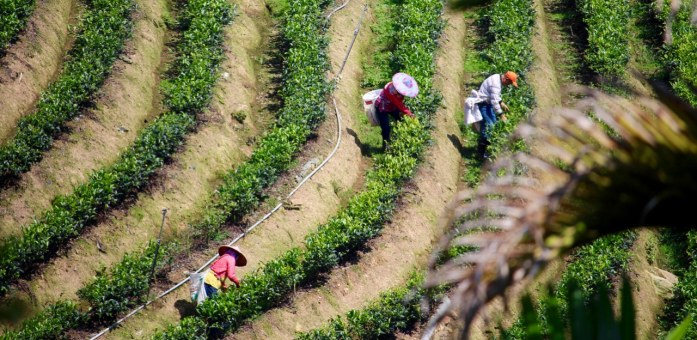 tea pickers in Sun Moon Lake