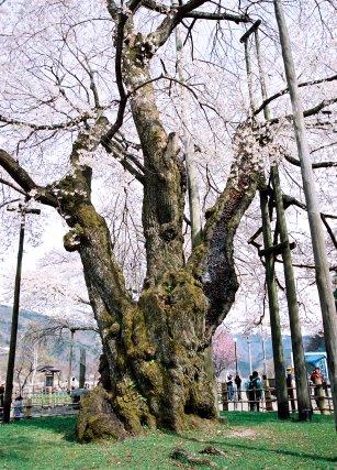荘川桜_北株 | 巨樹|樹の國・日本