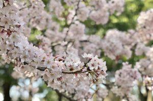 密集する桜の花