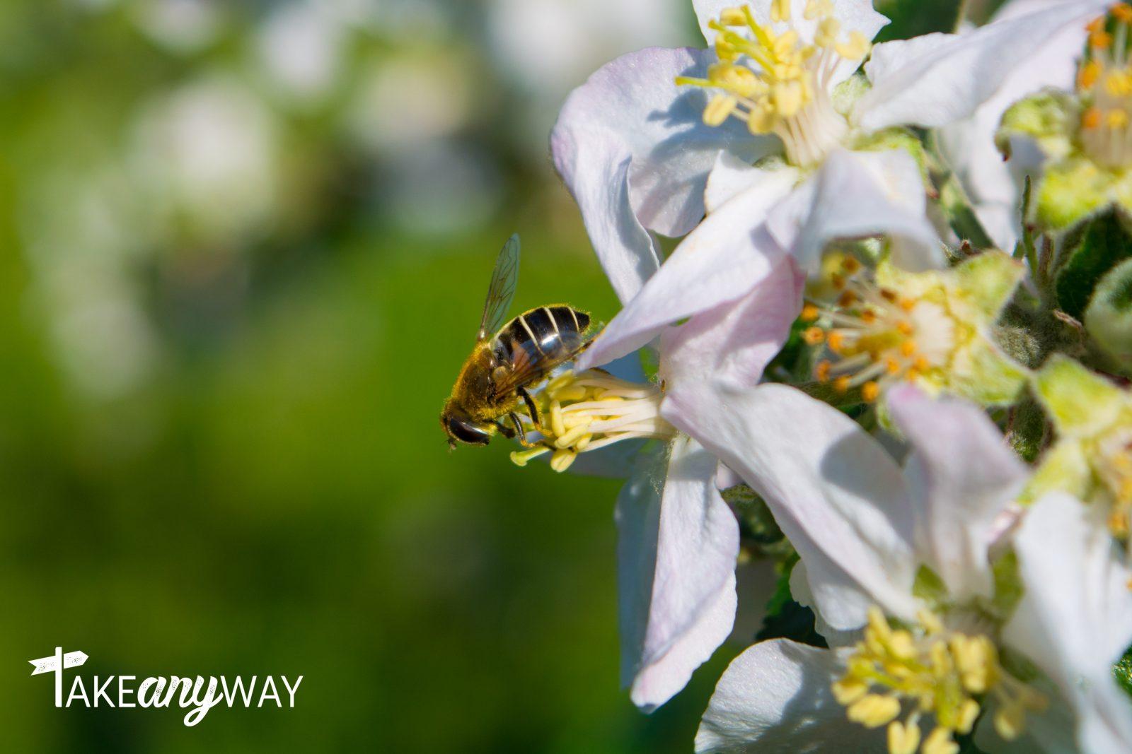 ape-su-fiori-di-melo